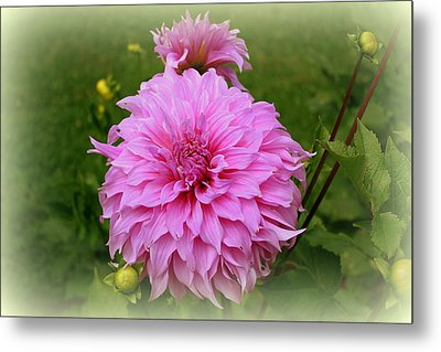 Pink Dahlia Metal Print by Donna Walsh