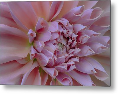 Metal Print featuring the photograph Pink Dahlia by Jacqui Boonstra