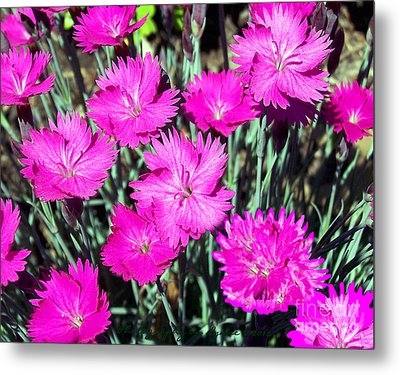 Metal Print featuring the photograph Pink Daisies by Gena Weiser