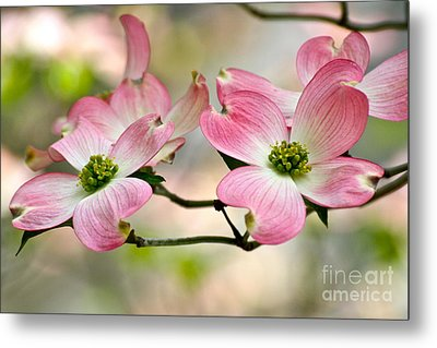 Pink Dogwood Splendor Metal Print by Eve Spring