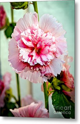 Pink Double Hollyhock Metal Print by Robert Bales