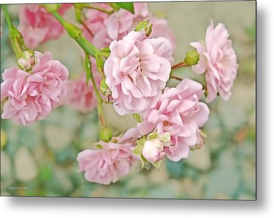 Pink Fairy Roses Metal Print by Jennie Marie Schell