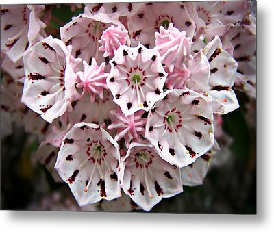 Metal Print featuring the photograph Pink Flowered Mountain Laurel by William Tanneberger