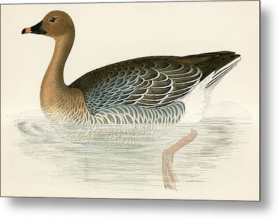 Pink Footed Goose Metal Print by Beverley R Morris