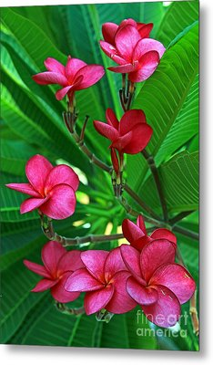 Metal Print featuring the photograph Pink Frangiapani - Plumeria by Larry Nieland