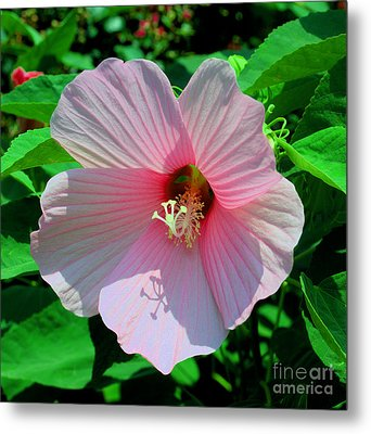 Pink Hibiscus Metal Print by Luther Fine Art