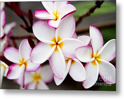 Pink Highlighted Plumeria Metal Print by Thanh Tran
