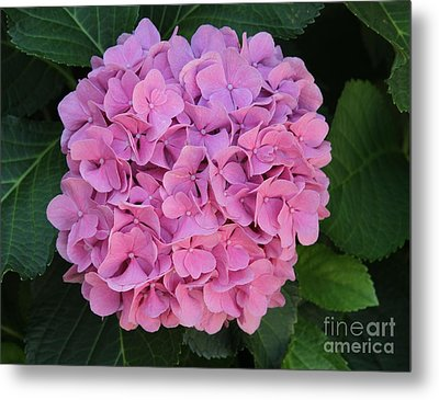Pink Hydrangea All Profits Benefit Hospice Of The Calumet Area Metal Print