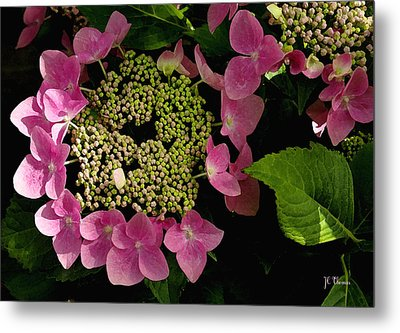 Metal Print featuring the photograph Pink Hydrangea by James C Thomas