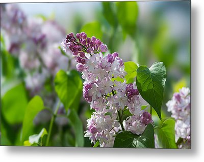 Pink Lilacs And Green Leaves - Featured 3 Metal Print by Alexander Senin