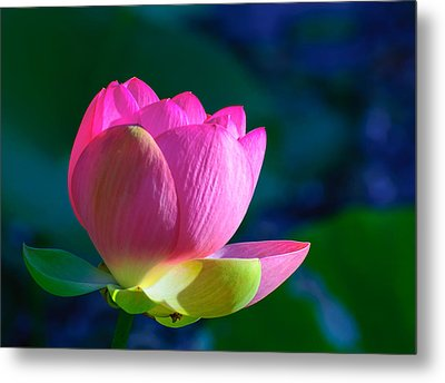 Metal Print featuring the photograph Pink Lily by John Johnson