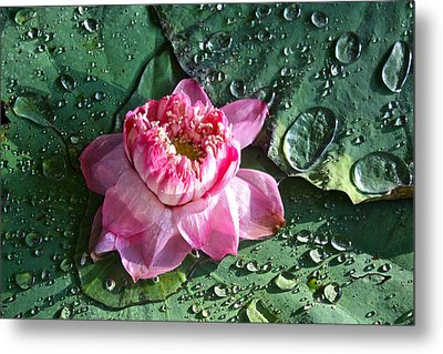 Pink Lotus Flower Metal Print by Venetia Featherstone-Witty