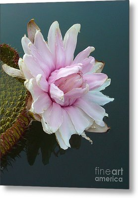 Pink Lotus In Water Metal Print