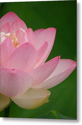 Pink Lotus Metal Print by Jane Ford