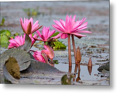 Pink Lotuses Metal Print by Fotosas Photography
