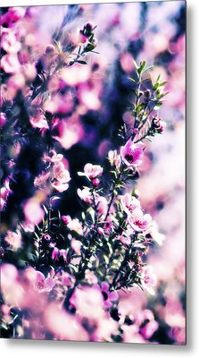 Pink Manuka Flowers Metal Print by motography aka Phil Clark