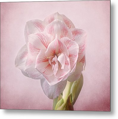 Pink Nymph Amaryllis Metal Print by Sandy Keeton