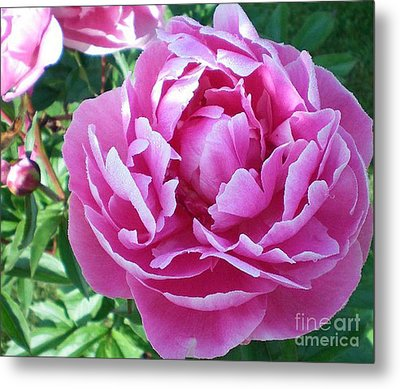 Metal Print featuring the photograph Pink Peony by Barbara Griffin