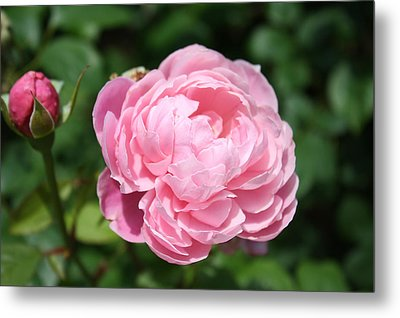 Metal Print featuring the photograph Pink Rose 2 by Ellen Tully