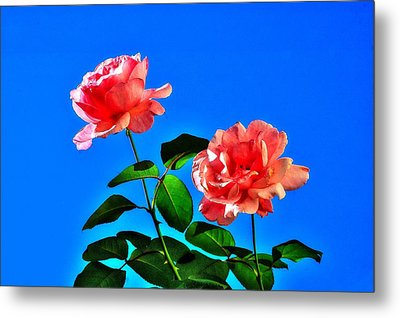 Metal Print featuring the photograph Pink Rose by Ed Roberts