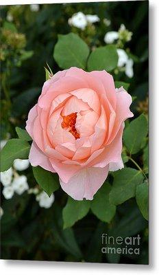 Pink Rose In Hamburg Planten Und Blomen Metal Print by Eva Kaufman