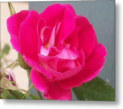 Metal Print featuring the photograph Pink Rose by Jewel Hengen