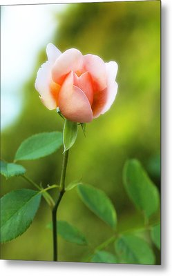 Metal Print featuring the photograph Pink Rose by Jim Poulos