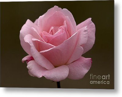 Metal Print featuring the photograph Pink Rose by Meg Rousher