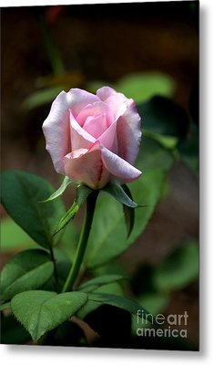 Pink Rose Metal Print by Theresa Willingham