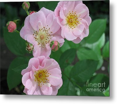 Metal Print featuring the photograph Pink Roses by HEVi FineArt