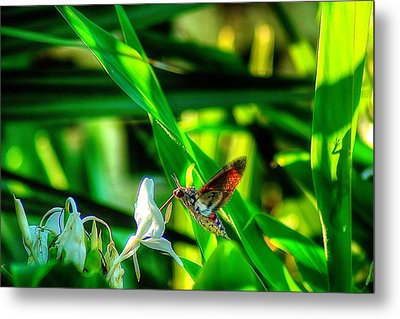 Pink Spotted Hawk Moth Metal Print