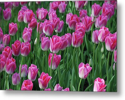 Metal Print featuring the photograph Pink Tulips 2 by Allen Beatty