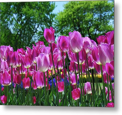 Metal Print featuring the photograph Pink Tulips by Allen Beatty