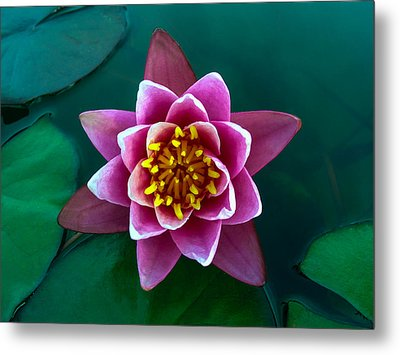 Rose Waterlily Metal Print