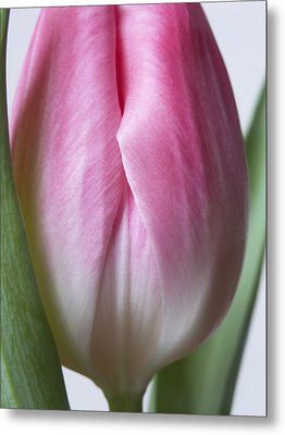 Metal Print featuring the photograph Close Up Pink White Tulips Flowers Macro Photography Art Work by Artecco Fine Art Photography
