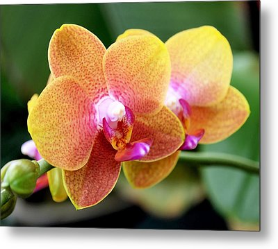 Pink Yellow Orchid Metal Print by Rona Black