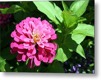 Metal Print featuring the photograph Pink Zinnia by Ellen Tully