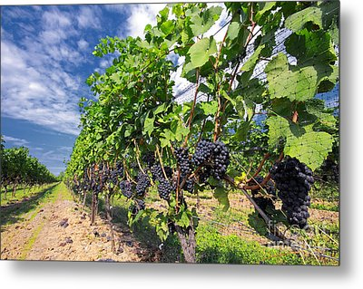 Pinot Noir Grapes In Niagara Metal Print by Charline Xia