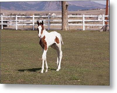 Pinto Filly In Pasture With White Fence Metal Print by Piperanne Worcester