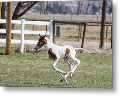 Pinto Oldenburg Warmblood Foal Jumping Metal Print by Piperanne Worcester