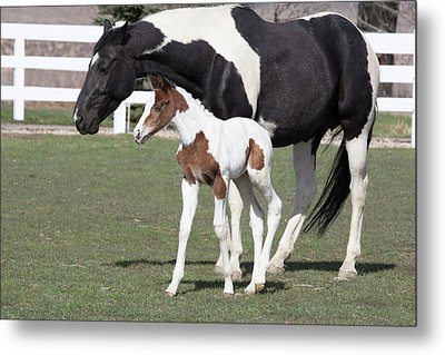 Pinto Oldenburg Warmblood Foal Or Filly Metal Print by Piperanne Worcester