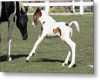 Pinto Oldenburg Warmblood Foal Playing Metal Print by Piperanne Worcester