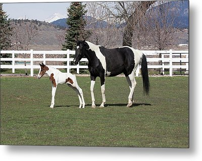 Pinto Oldenburg Warmblood Mare And Foal Metal Print by Piperanne Worcester