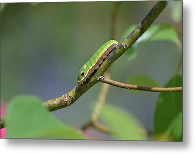 Pipevine Swallowtail Caterpillar Metal Print
