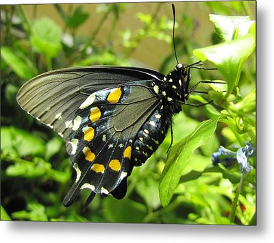 Pipevine Swallowtail Metal Print by Jennifer Wheatley Wolf