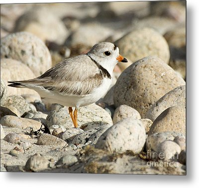 Piping Plover Adult Metal Print