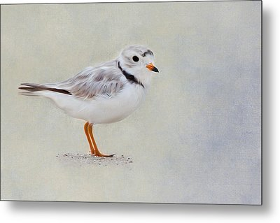 Piping Plover Metal Print by Bill Wakeley