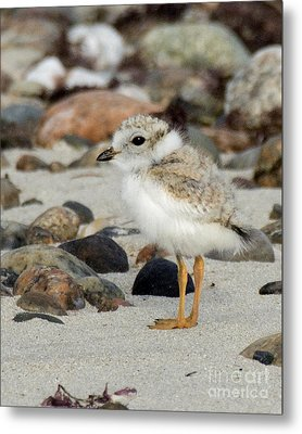 Piping Plover Chick Metal Print