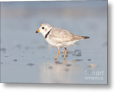 Piping Plover II Metal Print by Clarence Holmes