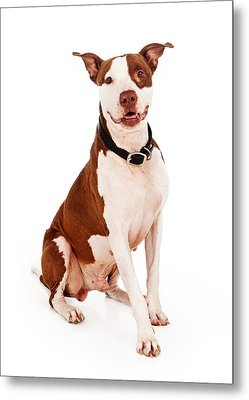 Pit Bull Dog With Happy Expression Metal Print by Susan Schmitz